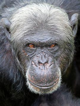 Chimpansee van Edwin Butter