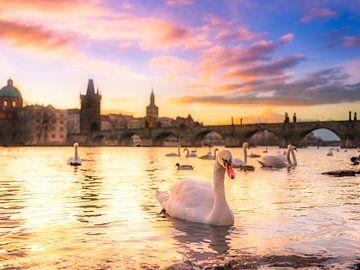 Swans at sunrise von Fernando Salgado