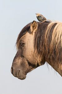 Konikpaard en spreeuw - Oostvaardersplassen