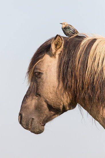 Paarden | Konikpaard en jonge spreeuw - Oostvaardersplassen  van Servan Ott
