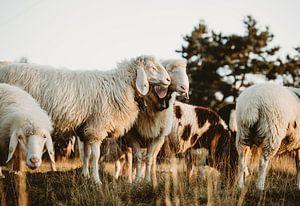 Schafliebe von Linda Mannsperger