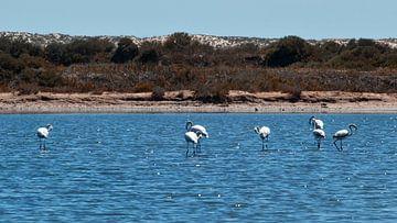 flamingo's in het water von Marina Nieuwenhuijs