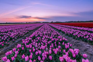 La magie des champs de tulipes sur Carla Matthee