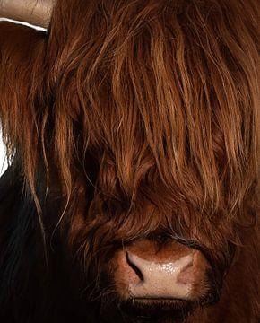 Schotse Hooglander kop van Marjolein van Middelkoop
