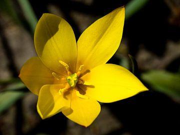 Gelbe Blume scharf