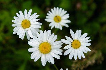 Four wild daisys von Frank Hoekzema