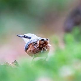 Boomklever van Arie Flokstra Natuurfotografie