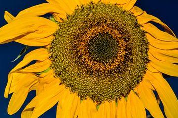 Sonnenblume von Rob Burgwal