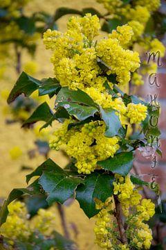 Mahonia aquifolium van Christine Nöhmeier