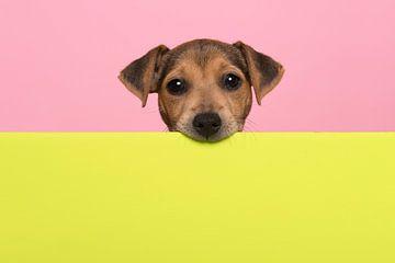 Jack-Russel-Terrier-Welpe von Elles Rijsdijk
