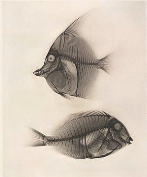 Fisch von David Potter