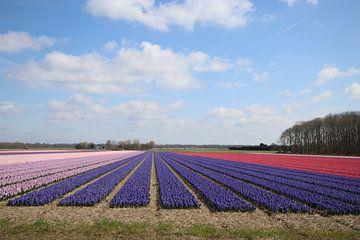 hyacintvelden van travelgusto