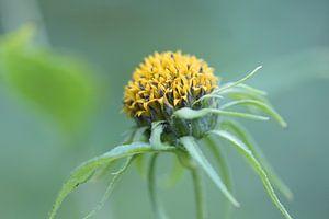 Fresh solid sunflower