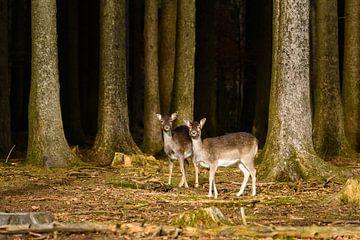 Twee nieuwsgierige herten aan de rand van het bos van Denis Feiner