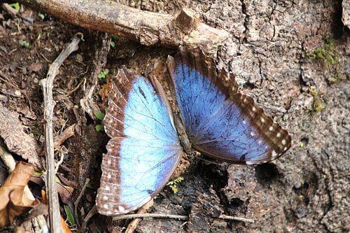 Blauwe 'Morfo' vlinder van Martin van den Berg