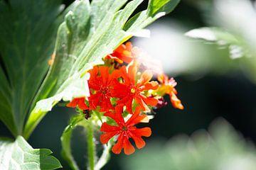 Rode bloem van Suzanne de Jong