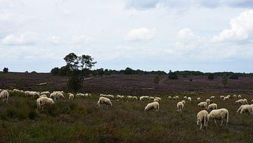 Eine Schafherde auf der violetten Heide von Gerard de Zwaan