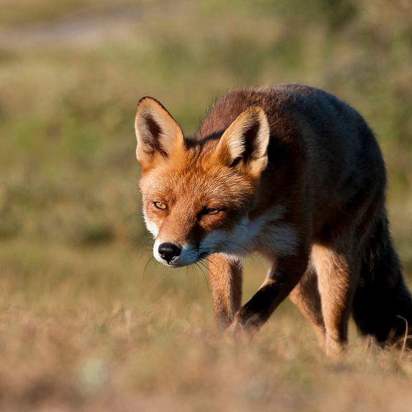 Jagende vos van Fotografie Egmond