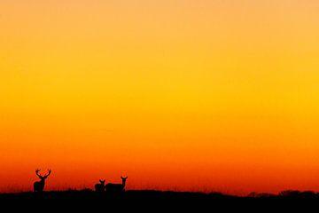 Herten in avondlicht Hoge Veluwe van Wim Wilmers