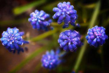 Lente: blauwe druifjes von Jan van der Knaap