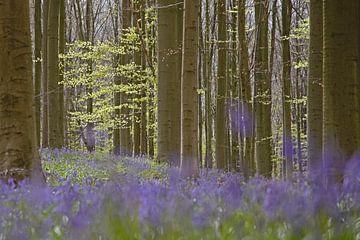 Blaue wilde Hyazinthen im Hallerbos von Barbara Brolsma