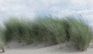 1182 Swaying dune grass