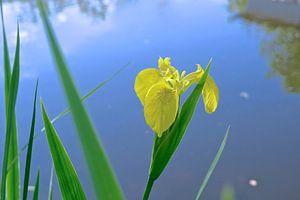 Iris bloem