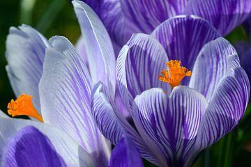 Blühender Krokus von Ulrike Leone