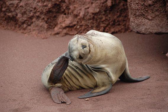 lenige zeeleeuw