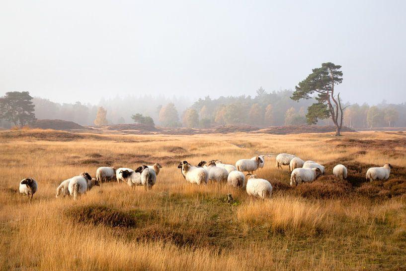 schapen op de hei sur anton havelaar