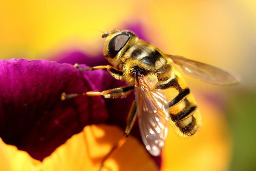 Zweefvlieg op een bloem van Paul Wendels