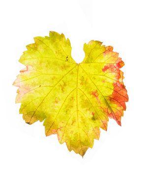 Druivenblad in de herfst 3 van Fionna Bottema