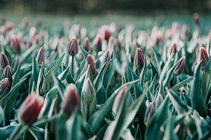 Tulpen in de ochtend