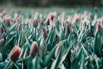 Tulpen am Morgen von Miranda Snoeijen
