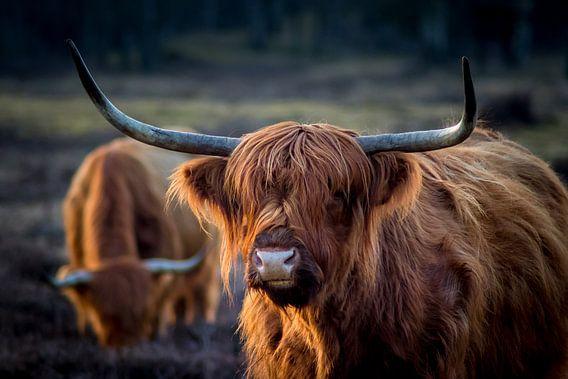 Schottischer Highlander im Abendlicht. Goldene Stunde. Schottisches Hochlandrind