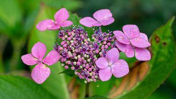 Hydrangea (hortensia) von Annemarie Arensen