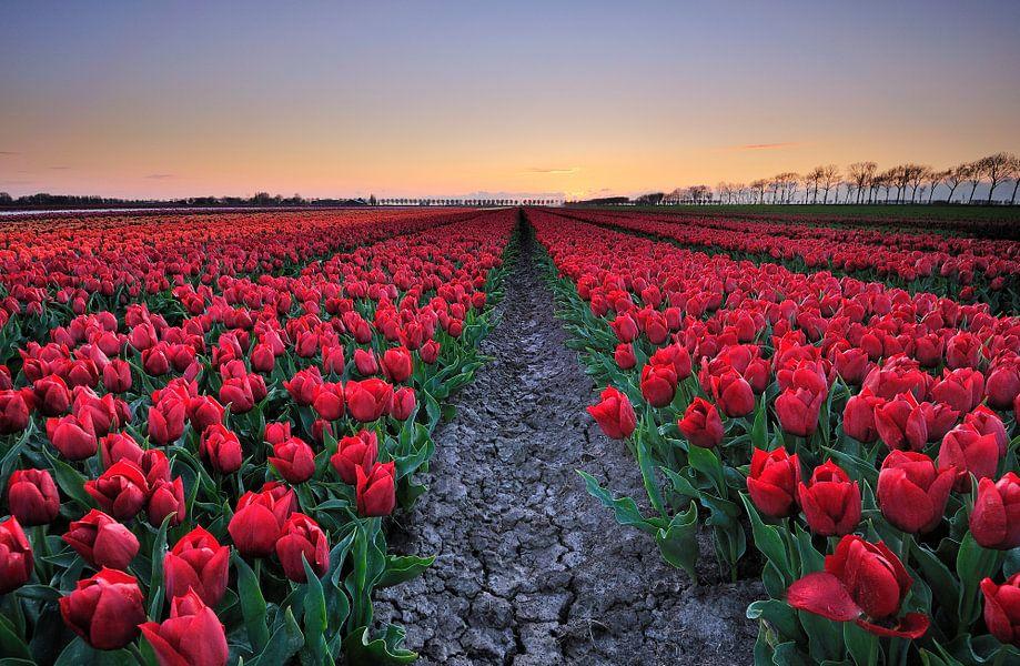 Tulpen bij zonsondergang