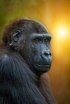 Gorilla bij zonsondergang van