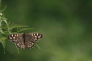 Bonte zandoogje vlinder op blad