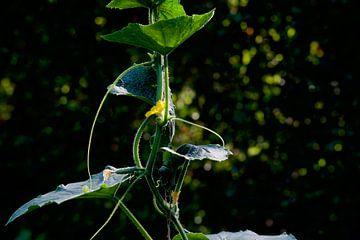 Komkommer Plant  in de tuin