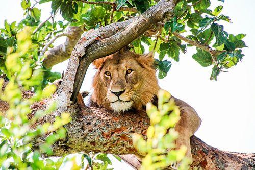 Leeuw in Boom tussen Bladeren: QENP, Oeganda