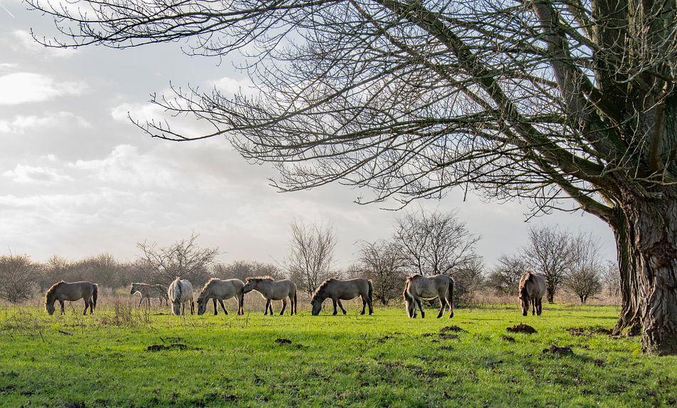 Konik paarden bij de Blaauwe kamer Wageningen 06 van Cilia Brandts