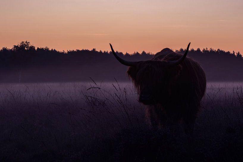 Schotse Hooglander - Bussumerheide van Amber Koehoorn