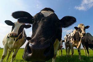 Groep koeien die in de lens kijken