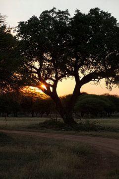 Amarula boom Afrika