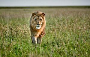 Mannelijke leeuw patrouilleert door het gebied van