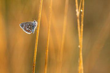 Icarusblauwtje van Aukje Ploeg