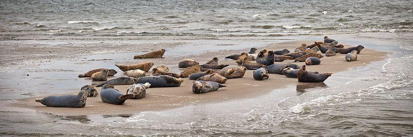 Auf einer Sandbank ruhende Robben von Frans Lemmens