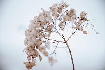 Hortensie im Schnee 4 von Ilse Dijkstra