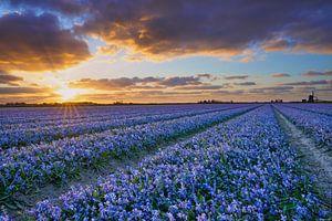Blauw bloeiende bloembollenvelden met een zonsondergang van eric van der eijk